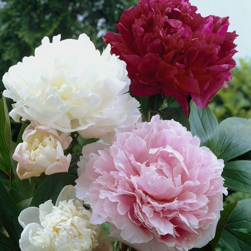 Peony SINGLE Color Flower Pack (15 Stems)