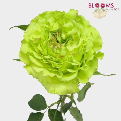 Rose Super Green 50cm