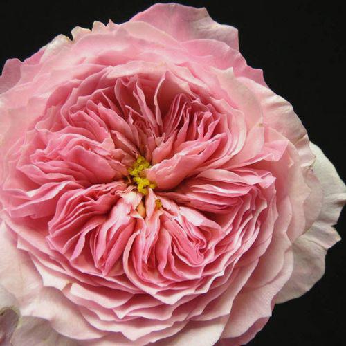 garden rose constance pink - Garden Rose
