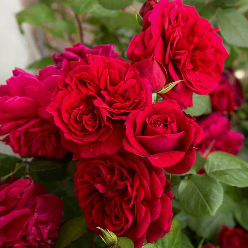 Spray Garden Rose Red