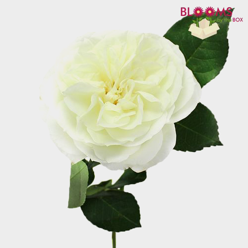 Wholesale Garden Rose White