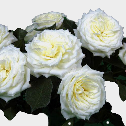 Spray Garden Rose White