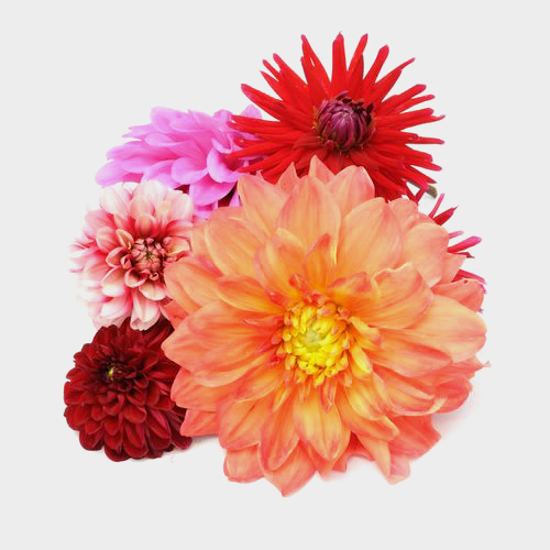 Dahlias 5 Bunch (50 Stems) - Reds