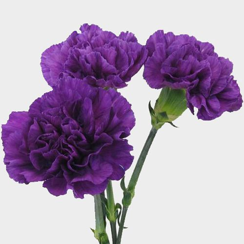 Moonshade Fancy Deep Purple Carnation Flowers Bloomsbytheboxcom