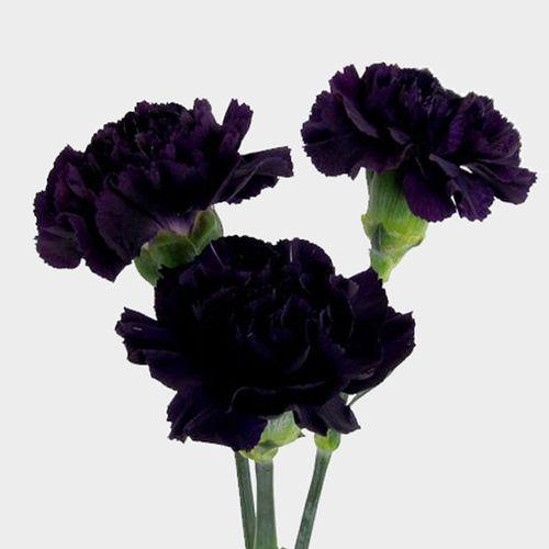 Moonvista Dark Purple Fancy Carnation Flowers Wholesale