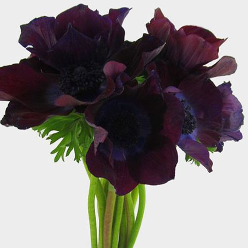 Anemone Burgundy (50 Stems)