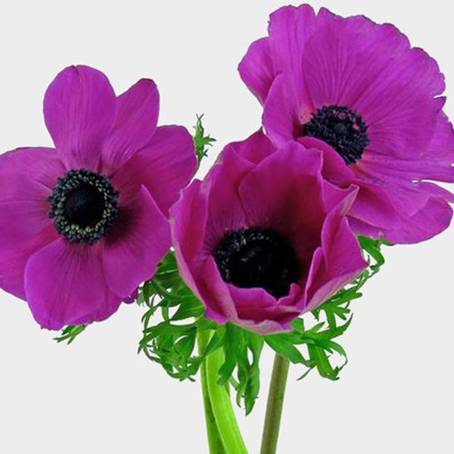 Anemone Hot Pink (50 Stems)