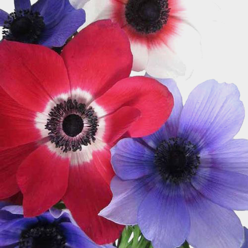 Anemone White W/ Green Eye (50 Stems)