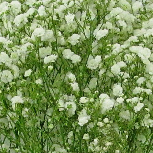 Gypsophila Excellence