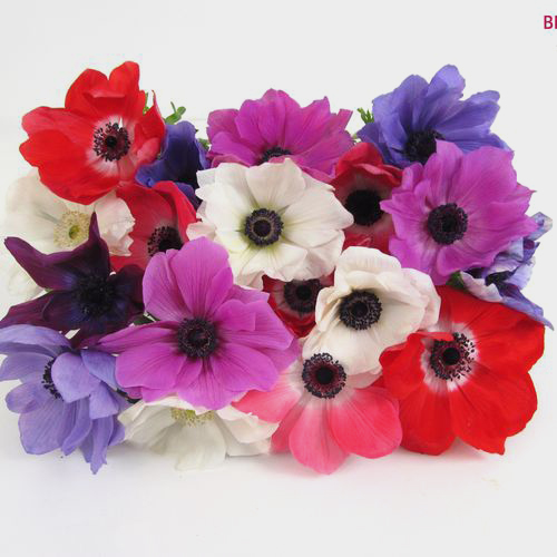 Assorted Winter Anemones 15 Bunch X 10 Stem Box (150 Stems)
