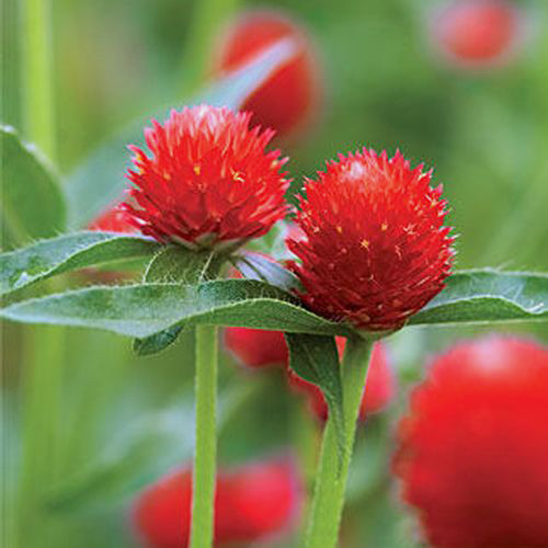 Gomphrena Red