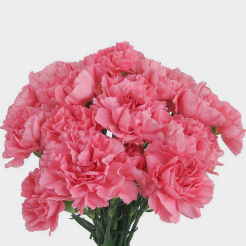 Carnations Pink Fancy Bulk