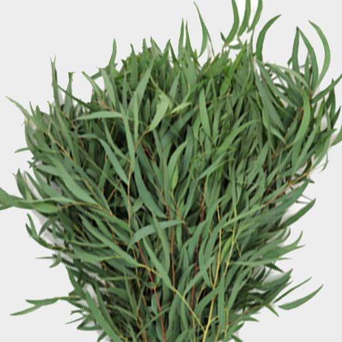 Eucalyptus Willow Bulk