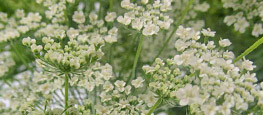Shop Rustic Queen Annes Lace