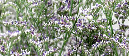 Shop Vintage Misty Blue Limonium